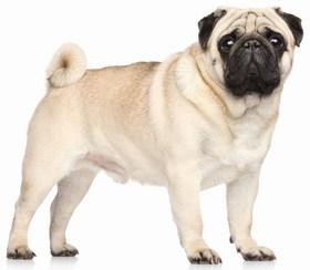 Pug Breed