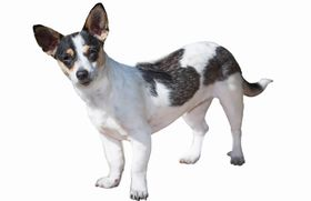 Rat Terrier Breed