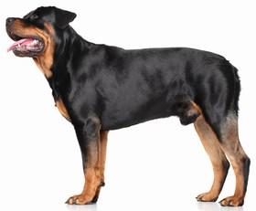 Rottweiler Breed