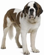Saint Bernard Breed