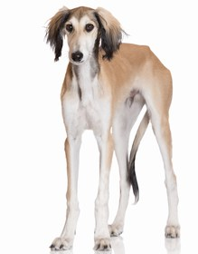 Saluki Breed