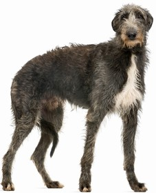 Scottish Deerhound Breed
