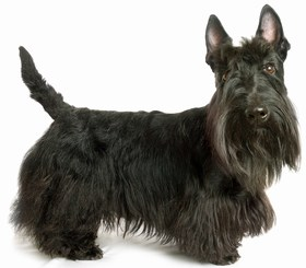 Scottish Terrier Breed