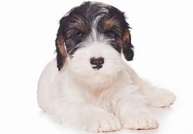 Sealyham Terrier Breed