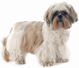 Shih-Tzu Breed