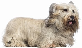 Skye Terrier Breed