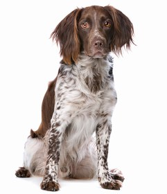 Small Munsterlander Pointer Breed