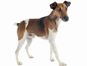 Smooth Fox Terrier Breed