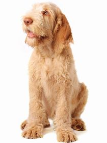 Spinone Italiano Breed