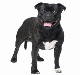Staffordshire Bull Terrier Breed