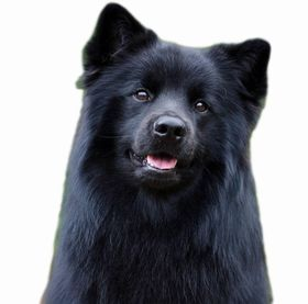 Swedish Lapphund Breed