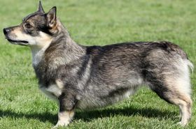 Swedish Vallhund Breed