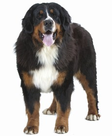 Swiss Mountain Dog Breed