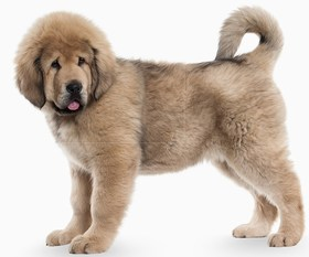 Tibetan Mastiff Breed