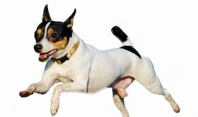 Toy Fox Terrier Breed