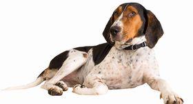 Treeing Walker Coonhound Breed
