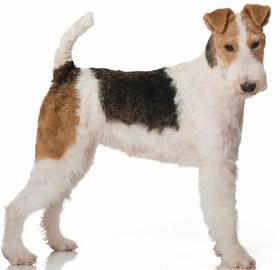 Wire Fox Terrier Breed