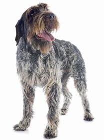 Wirehaired Pointing Griffon Breed
