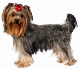 Yorkshire Terrier Breed