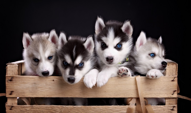 Husky puppies in crate