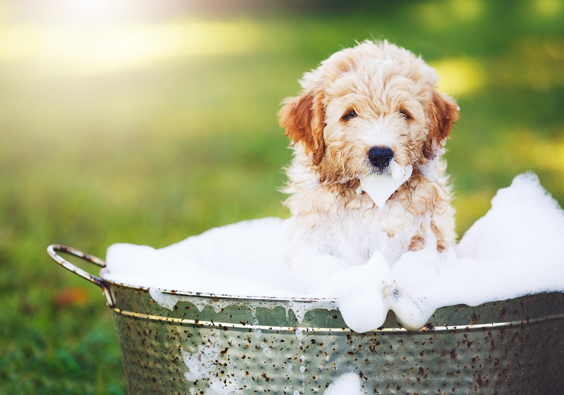 Golden Retriever Puppy taking a bath