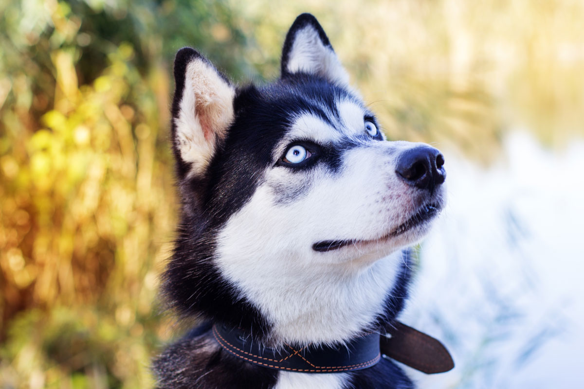Blue Eyed Siberian Husky looking off to the side of camera.
