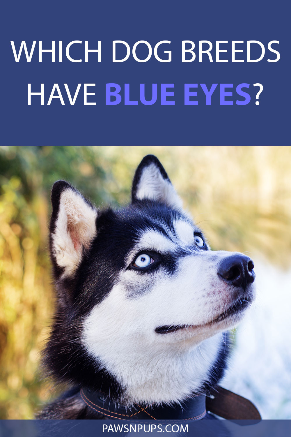 Which Dog Breeds Have Blue Eyes? - Siberian Husky with blue eyes looking up and to the side.