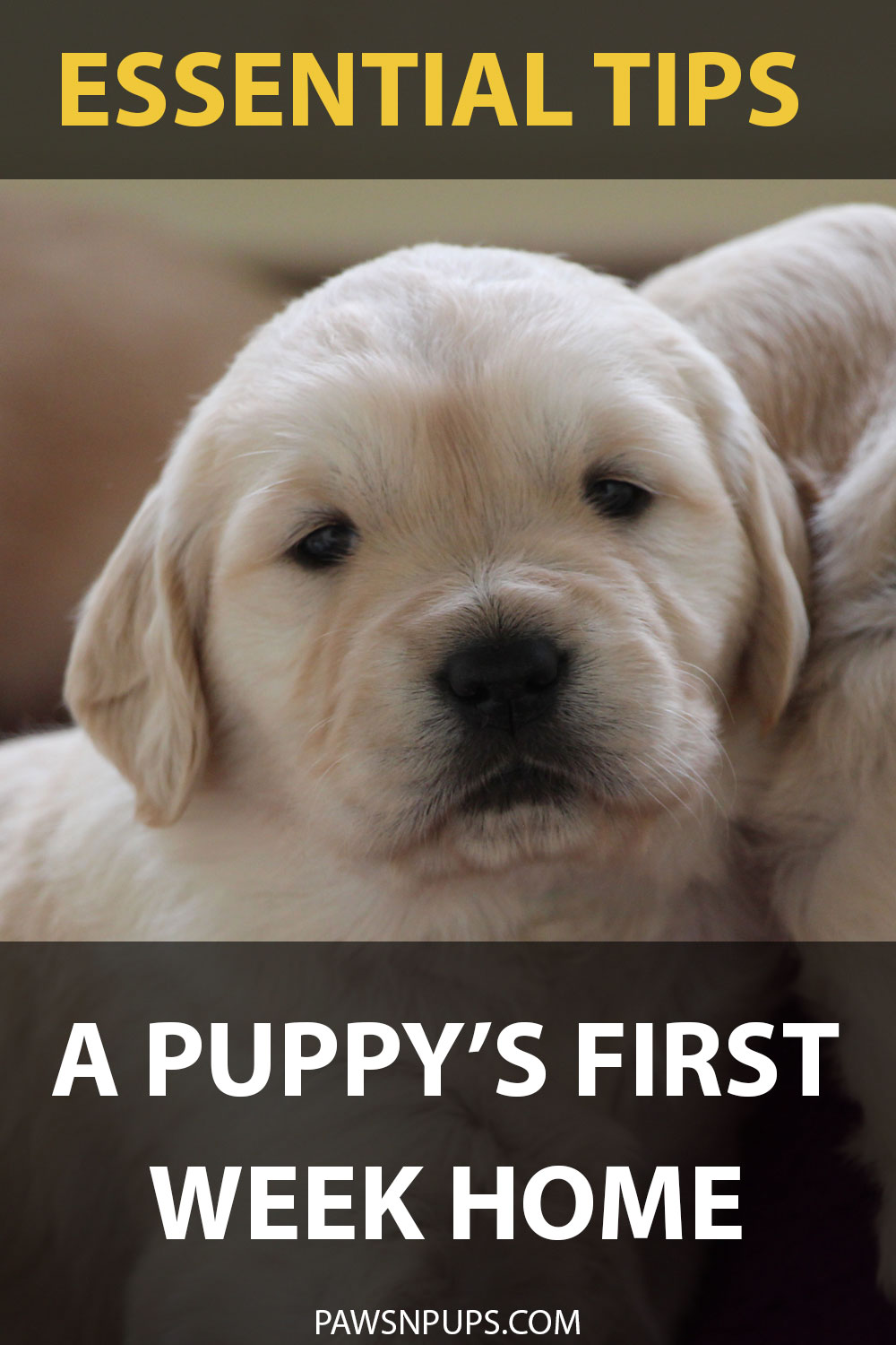 Essential Tips: A Puppy's First Week Home - Golden Retriever puppy next to his sibling. Staring back at the camera