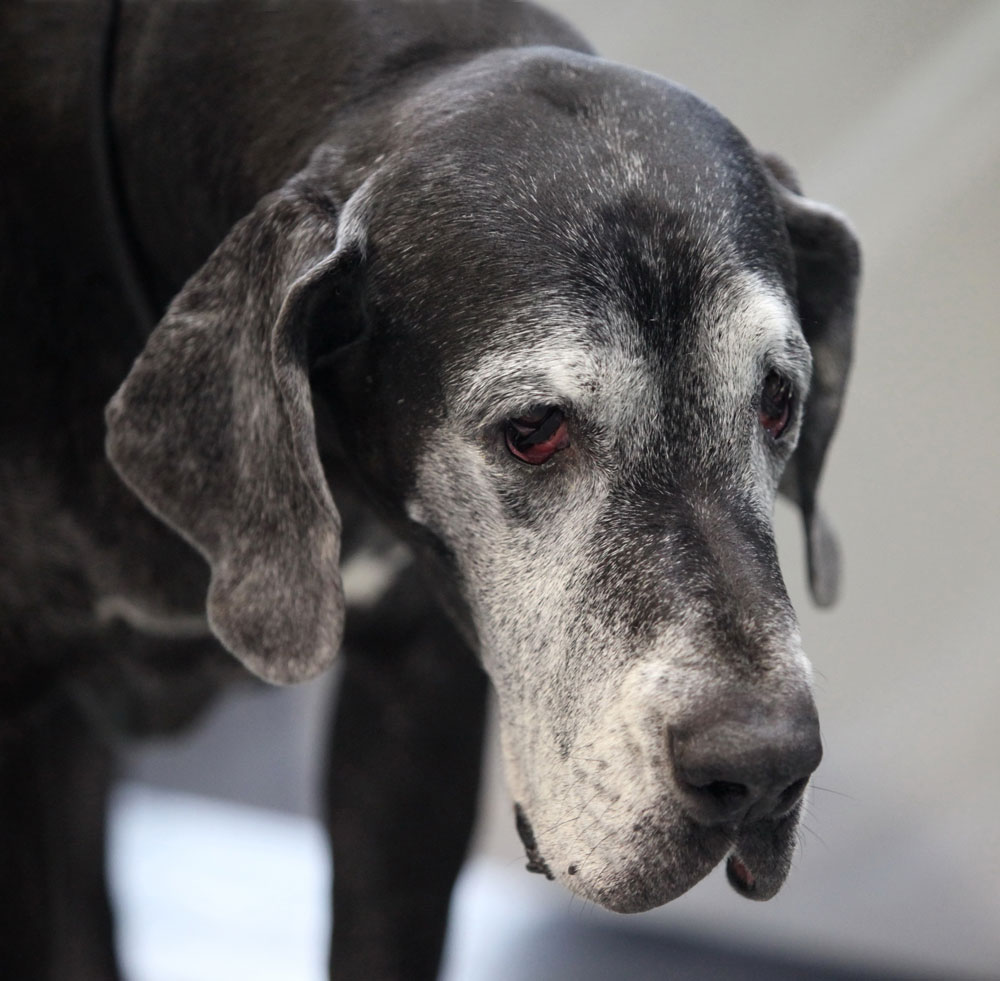 Great Dane Life Span - Senior Great Dane with grey/white muzzle.
