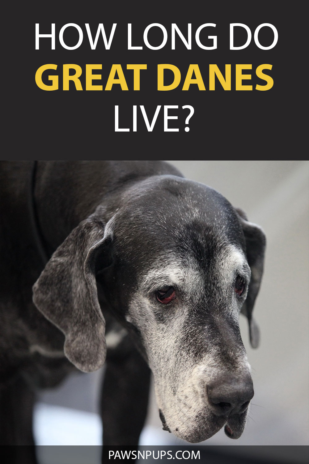 How Long Do Great Danes Live? Old Black Great Dane with lots of white and grey coloring around the face.
