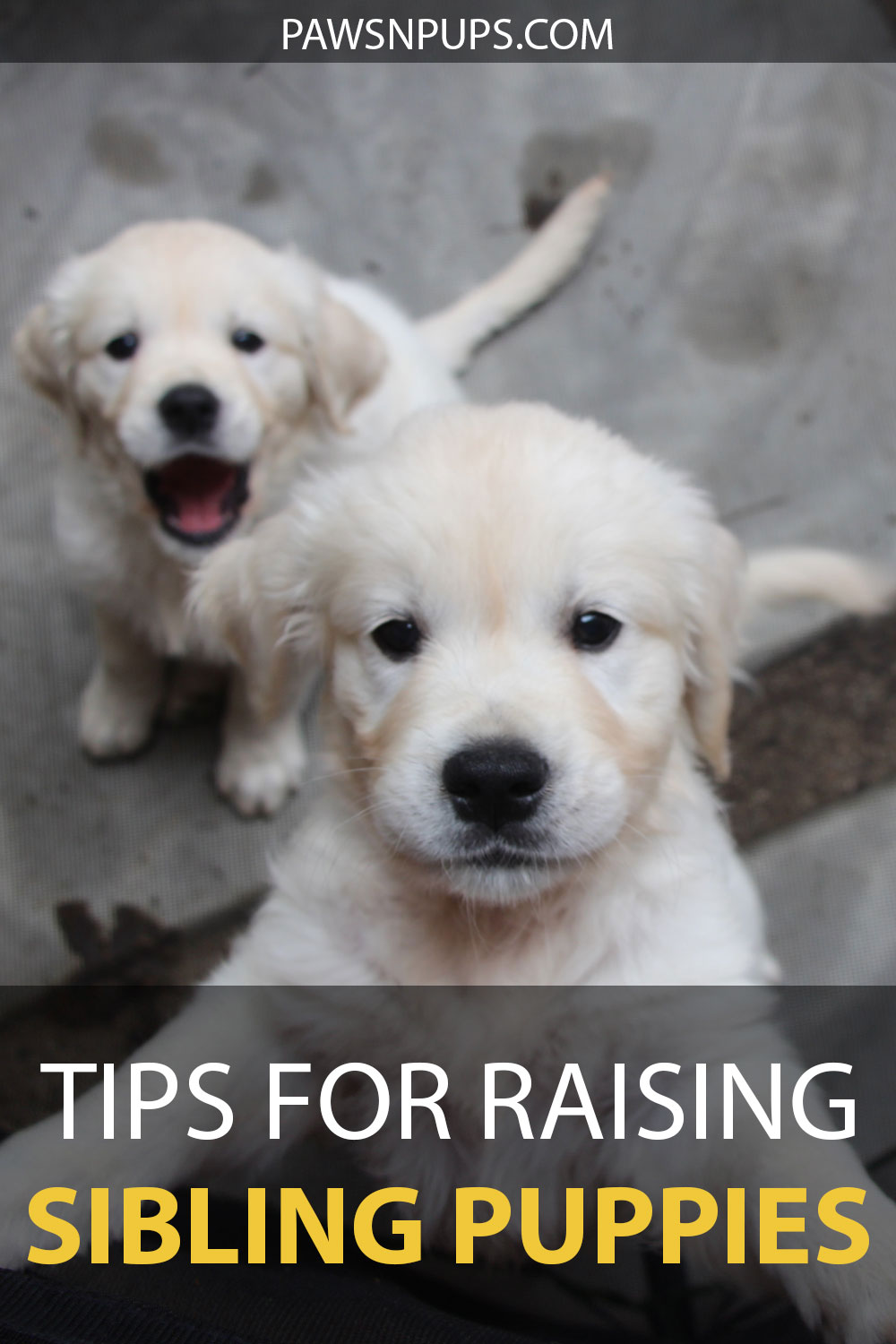 Tips For Raising Sibling Puppies - Golden Retriever puppy  jumping up to camera with sibling puppy sitting in the background with mouth wide open.