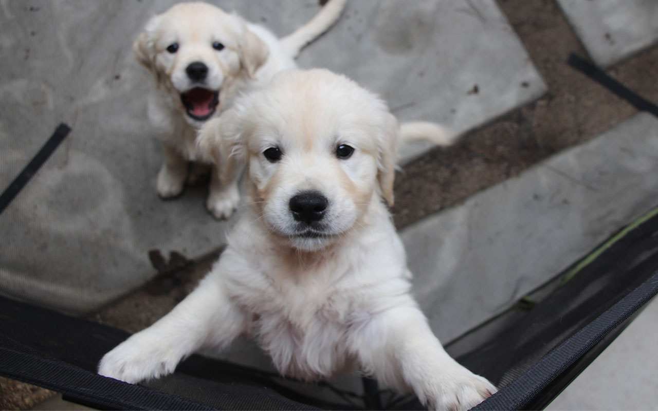 Golden Retriever puppy jumping up at camera while his little sister sits in the background with mouth wide open