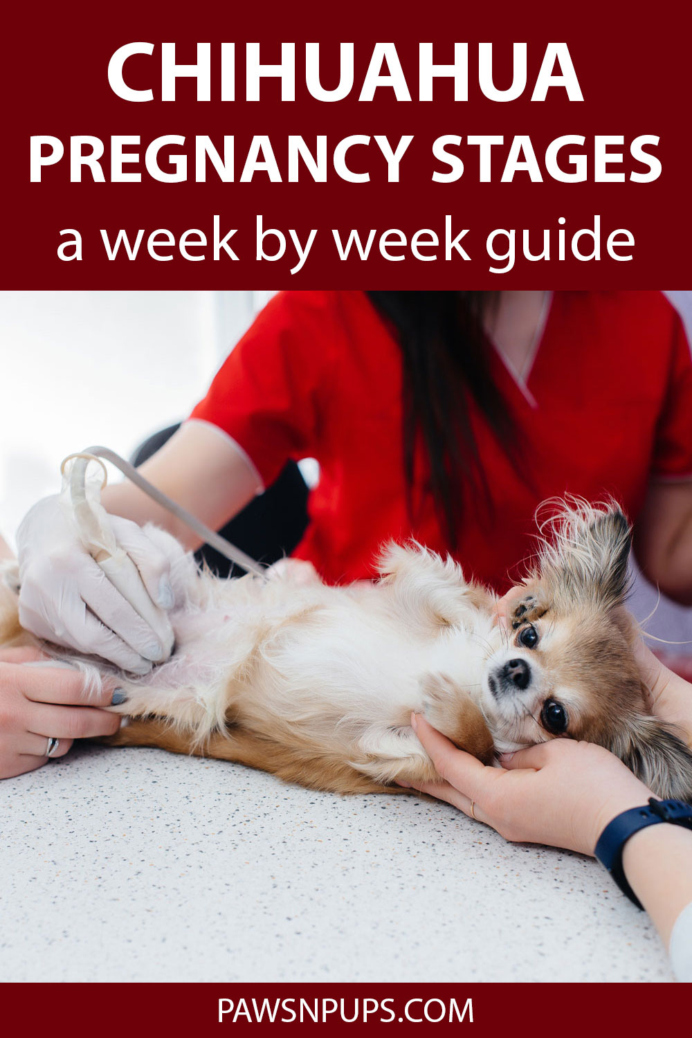 Chihuahua Pregnancy Stages A Week By Week Guide - pregnant long haired Chihuahua getting ultrasound at vets office.