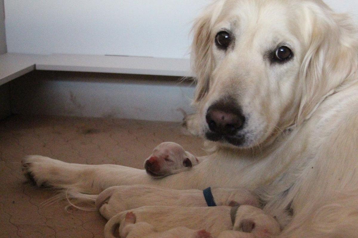 Dog Pregnancy Calendar - All Stages Of Dog Pregnancy - Golden Retriever mama lying down in her whelping box feeding newborn puppies.