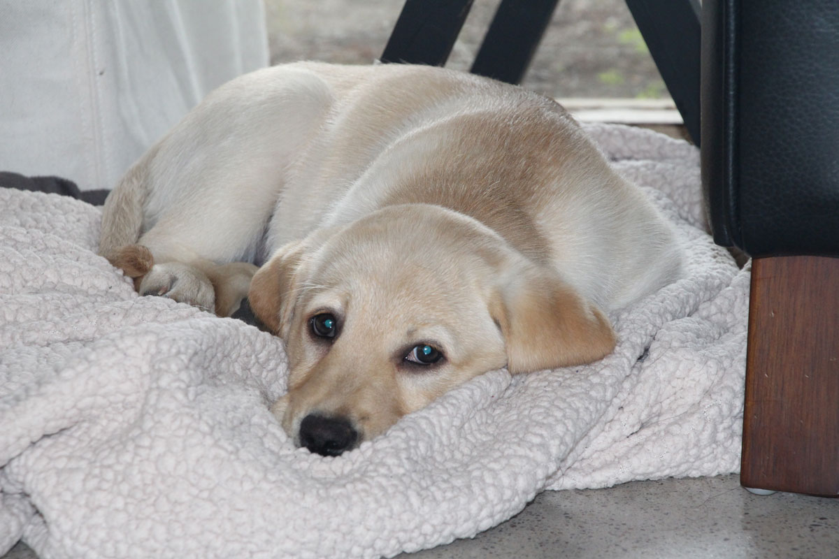 What are the easiest dog breeds for new dog owners? - yellow Labrador Retriever puppy lying down on fleece blanket