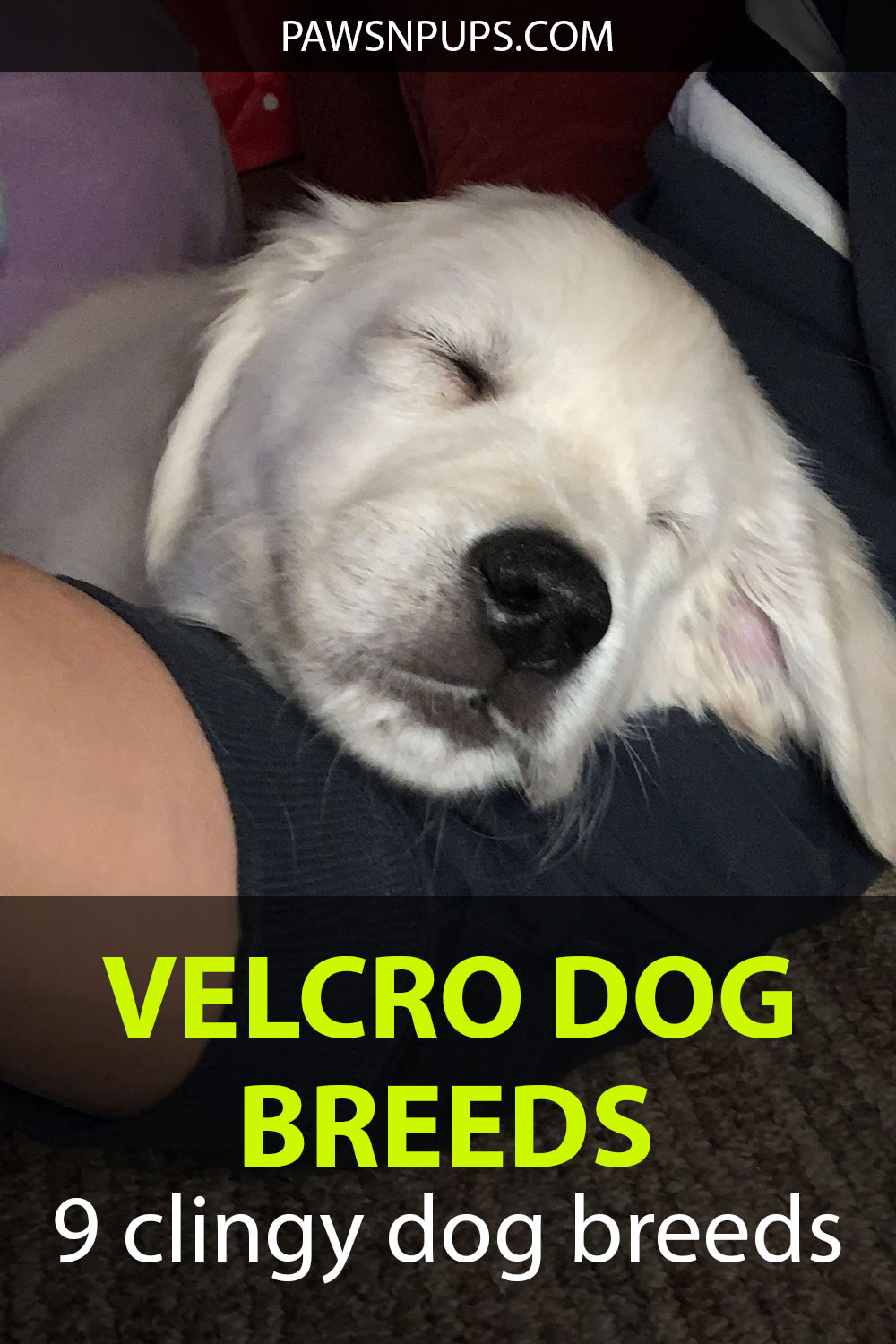 Velcro Dog Breeds - 9 Clingy Dog Breeds - white golden retriever puppy lying on my arm. Definitely a clingy breed.