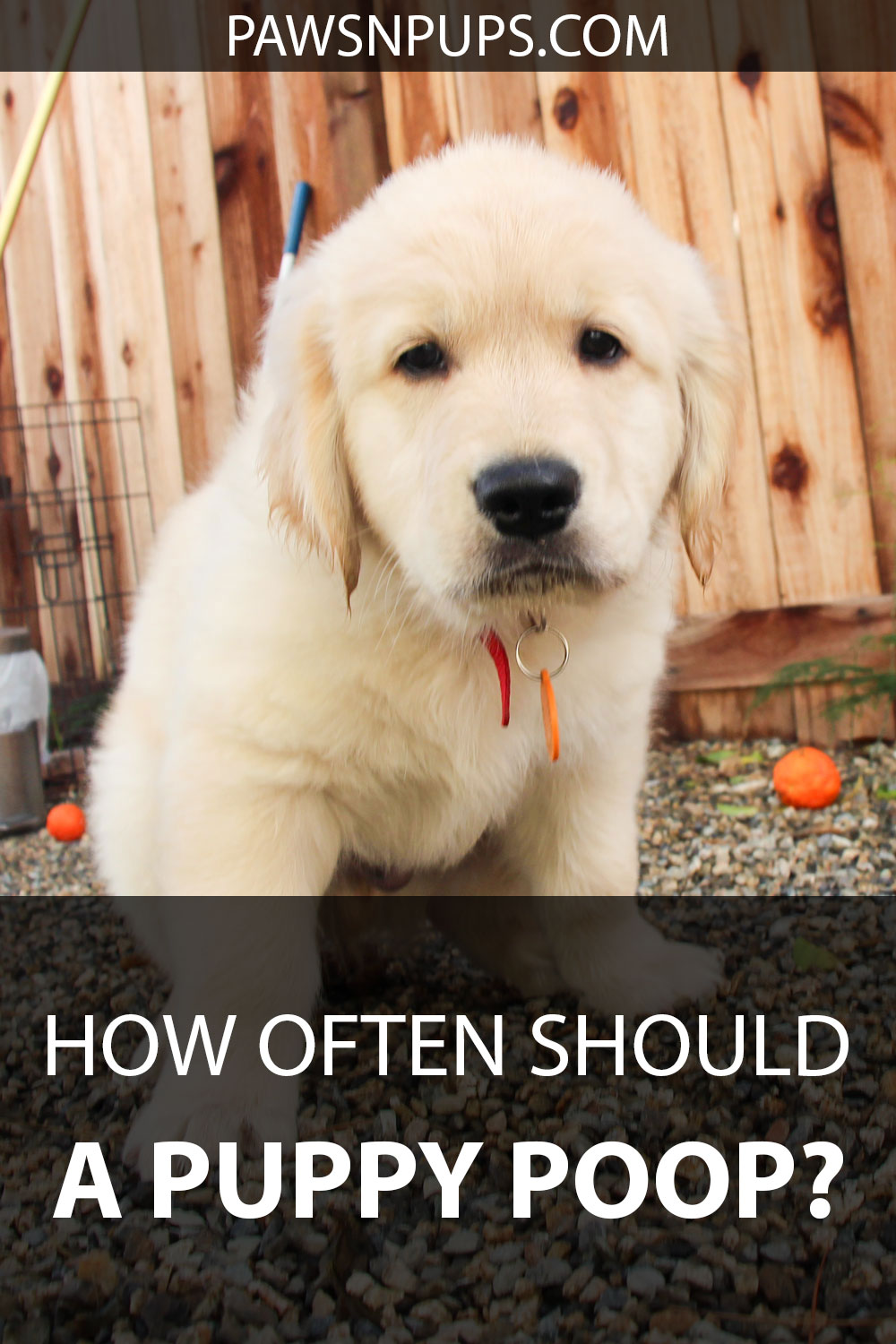 How Often Should A Puppy Poop? - Golden Retriever puppy squatting in the poop position.