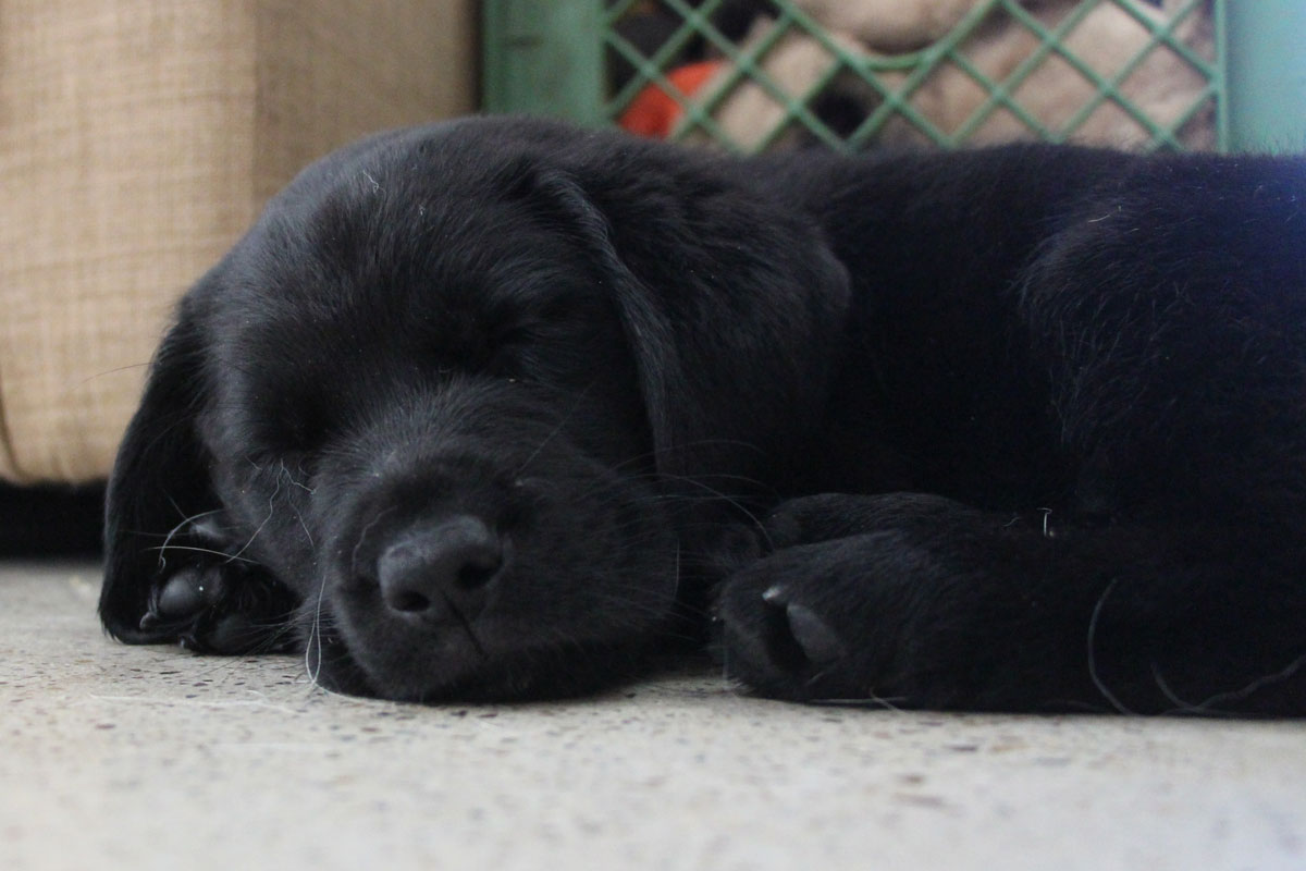 How Do I Know If My Puppy Will Survive Parvo? - black lab puppy lying on the concrete floor.