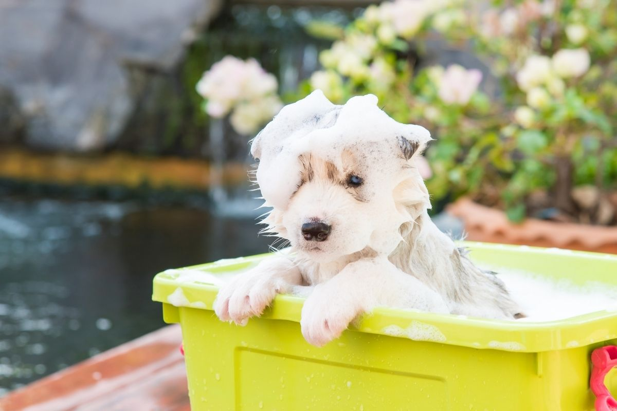 When Can You Give Your Puppy A Bath? - Adorable puppy covered in soap inside a yellow bath tub.