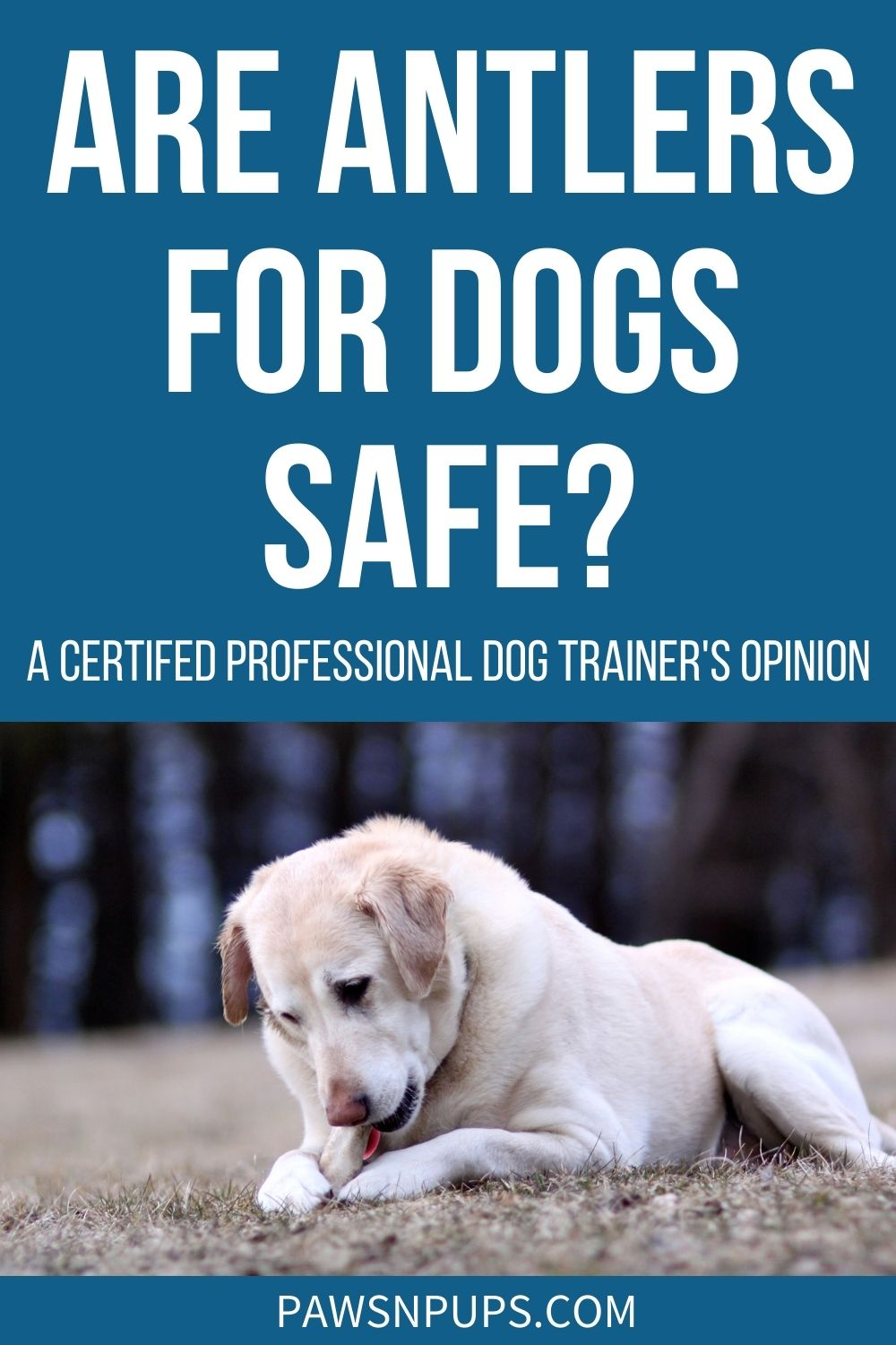 Are Antlers For Dogs Safe? - A Certified Professional Dog Trainer's Opinion - Yellow Lab chewing on antler in a field.